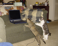 Cats love screensavers